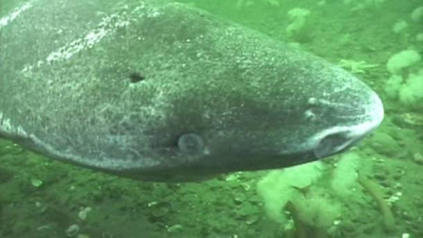 tiburon-de-groenlandia-5