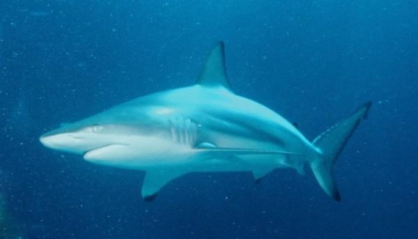 Carcharhinus limbatus