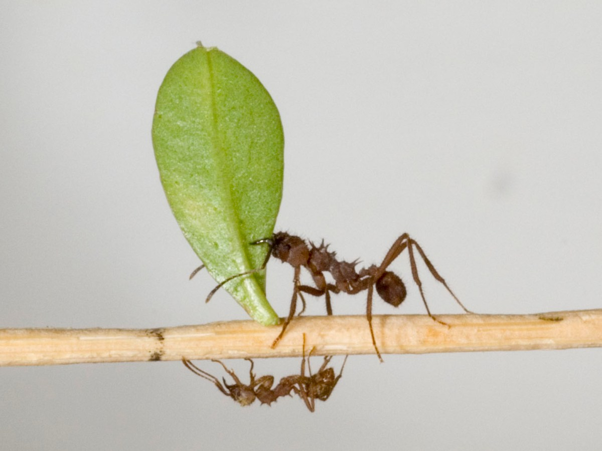 hormiga cortadora de hojas, hormiga