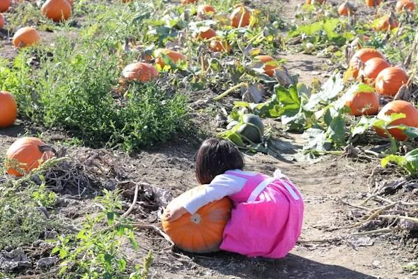 little girl picking out a pumpkin at pumpkin farm