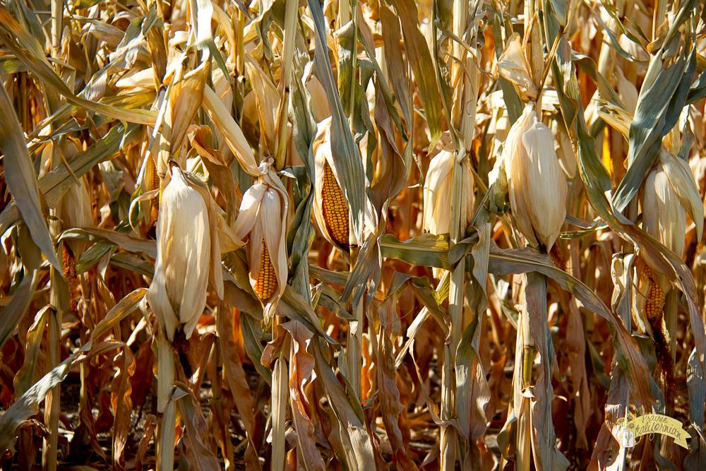 Corn Harvest-5