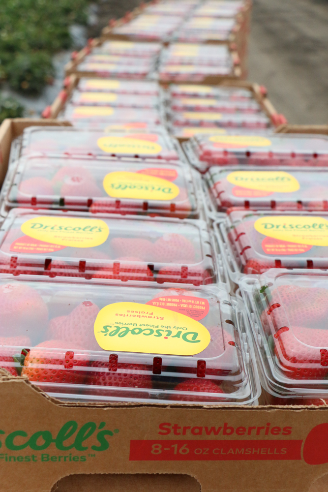 Boxes of strawberries at a strawberry farm.