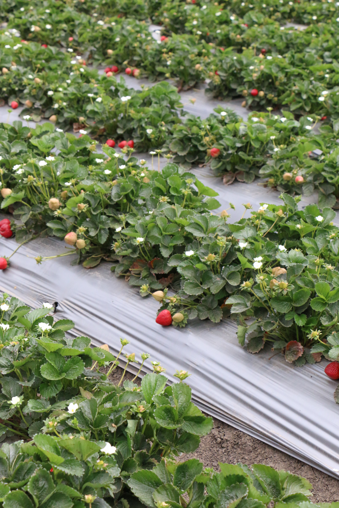 Rows of strawberries at a strawberry farm.