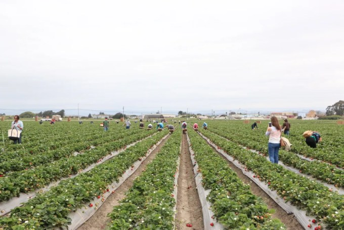 Touring a strawberry farm.