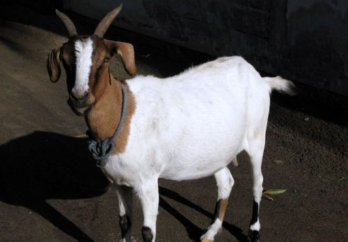 Goat_that_chased_me_up_the_street