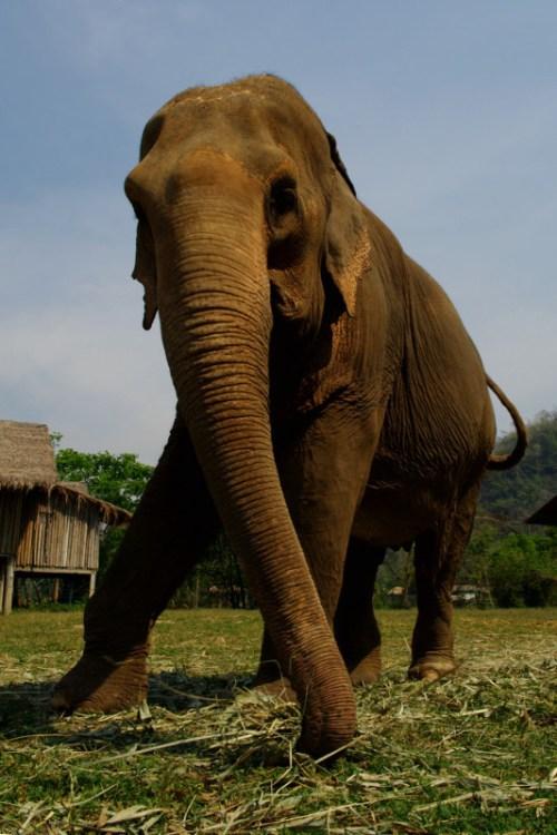 Elephant-nature-park-elephant-from-below-big