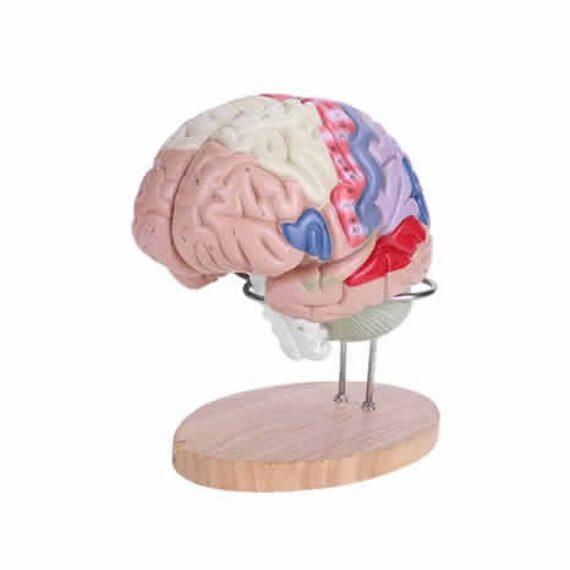 cerebro anatómico pequeño
