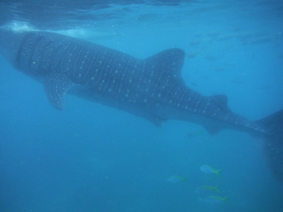 Snorkelen walvishaaien Filipijnen