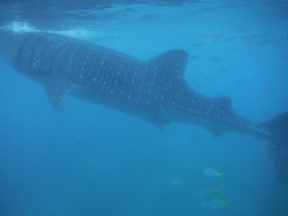 Snorkelen met de walvishaaien in de Filipijnen