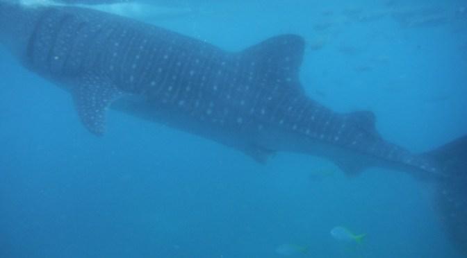 Snorkelen met de Walvishaaien