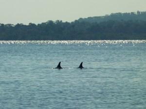 Dolfijnen-in-Bocas-del-Toro-Panama