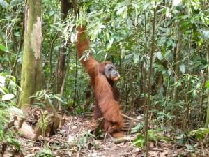 Orang Oetans in Sumatra Indonesië