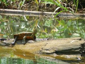 Schildpad in Indio-Maíz Nicaragua