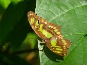 Vlinder in Indio Maiz Nicaragua