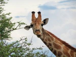 Giraffe Etosha Namibië