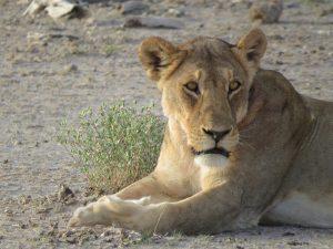 Leeuwin in Etosha Namibië
