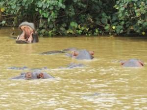 Nijlpaarden in St Lucia Zuid-Afrika