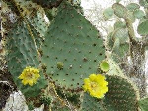Cactusboom Galapagos Ecuador