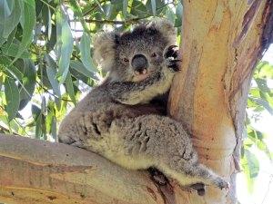Cape Otway Koala Australië