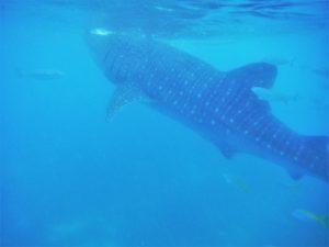 Landen, waar je met de walvishaai kunt snorkelen