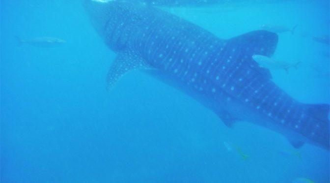 Landen, waar je met walvishaaien kunt snorkelen en duiken