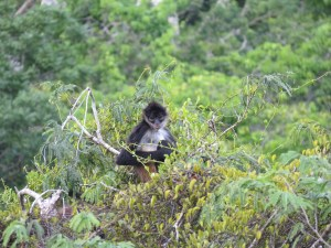 Dieren slingeraap in Guatemala