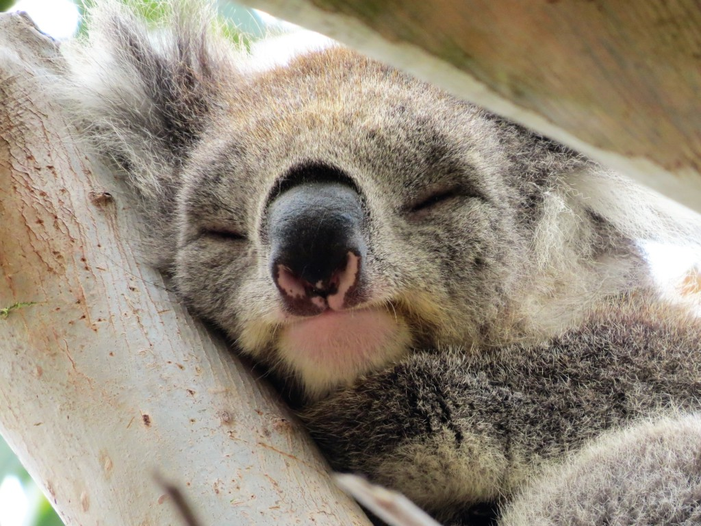 Close-up-Koala-in-Australie