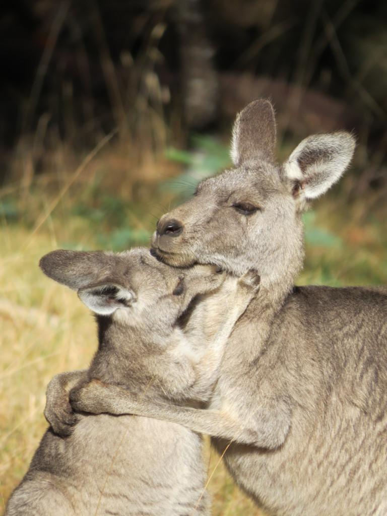 Kangoeroe-moeder-en-jong-in-Australie