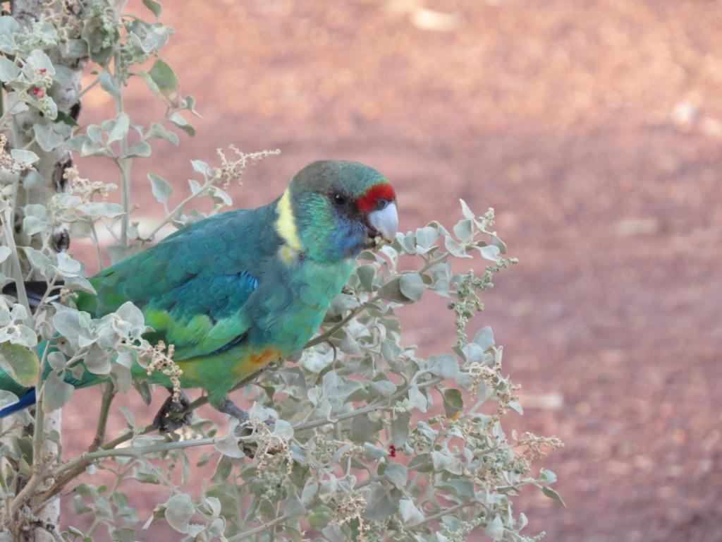 Kleurrijk-papegaaitje-in-Australie