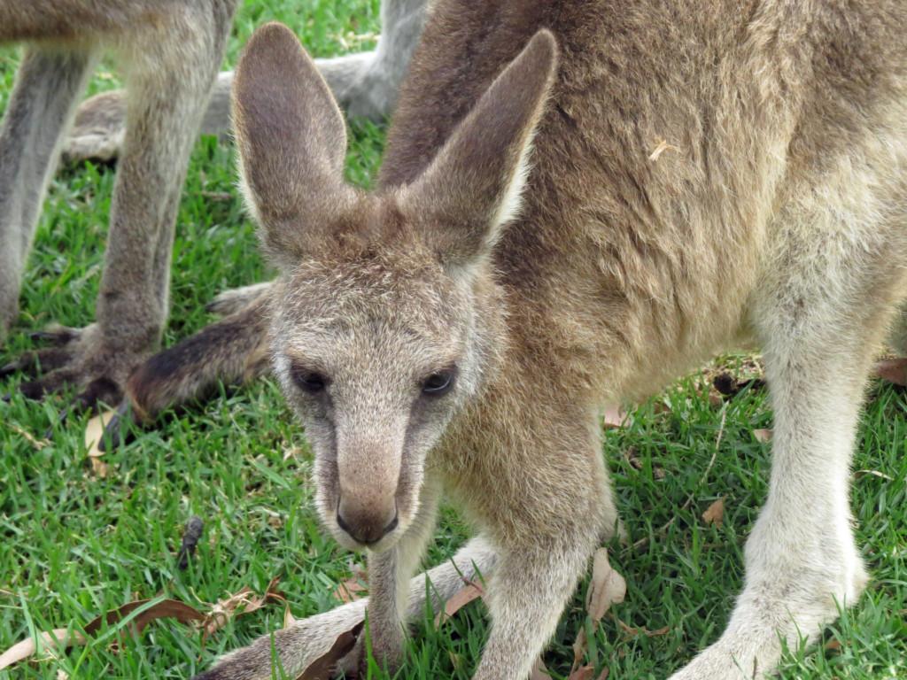 Kangoeroe-in-Australie