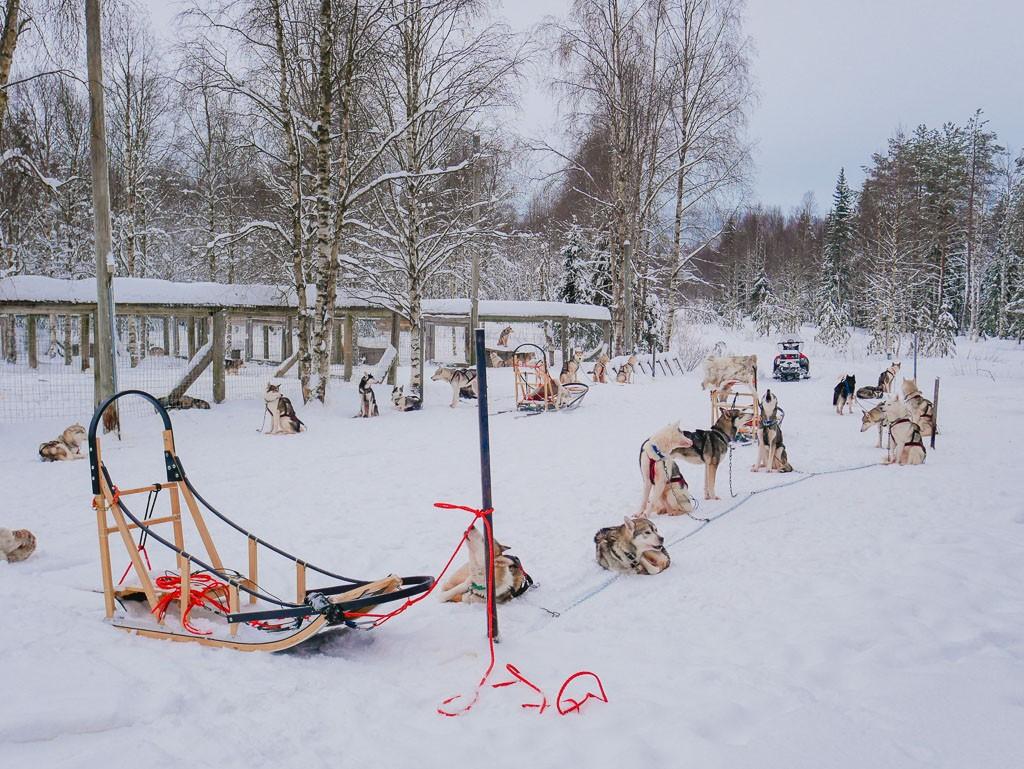 husky love dog sledding in finland so amazing hippie in heels