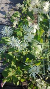 Clématite, herbe aux gueux