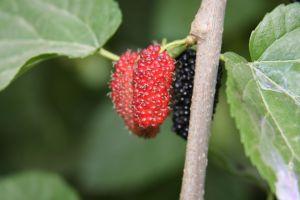 mûres, phytothérapie plantes comestibles