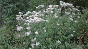eupatoire phytothérapie naturopathie