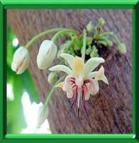Cacao fleur naturopathie