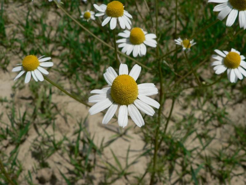fleurs de matricaire
