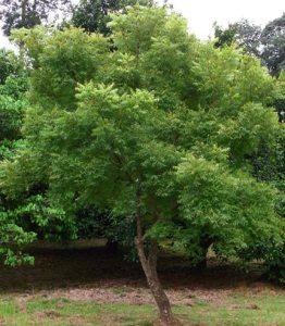 Neem margousier Azadirachta indica