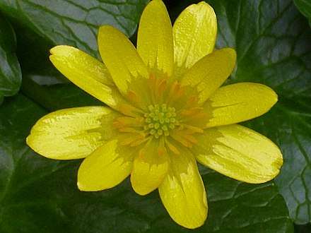Ficaire Ranunculus ficaria