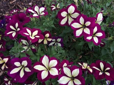 Flor blanca de puntas moradas