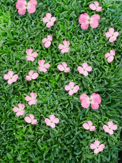 ground cover flowers dianthus sternkissen