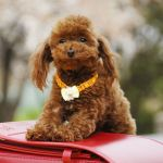 15 Cute Miniature Dog Breeds Best Toy Dog Breed List