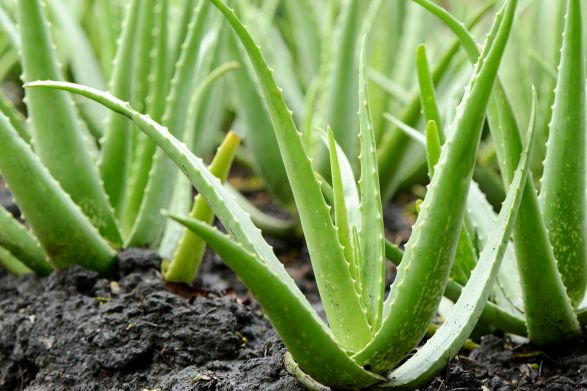 aloe_vera_plant_growing