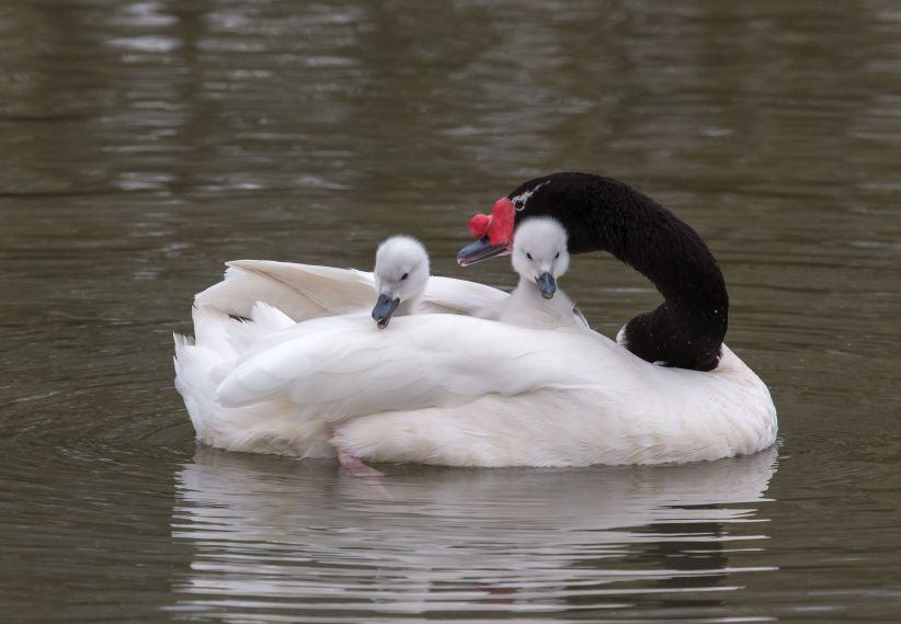 Black Necked Swan with Cygnets