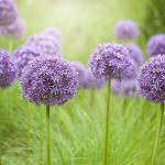22 Purple Flowers For Gardens Perennials Annuals With Purple Blossoms