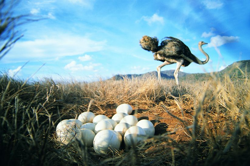 Close-up of Ostrich eggs with Ostrich in background (Struthio camelus)