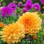 38 Best Summer Flowers Beautiful Flowers That Bloom All Summer
