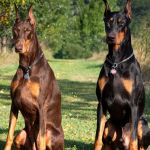 15 Best Guard Dogs To Protect Your Home Top Guard Dog Breeds