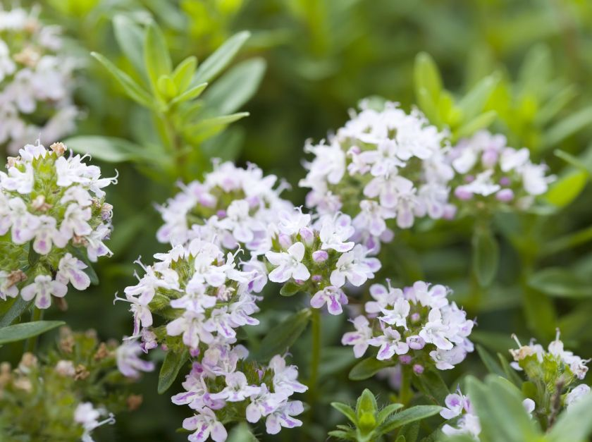 ground cover plants flowering thyme