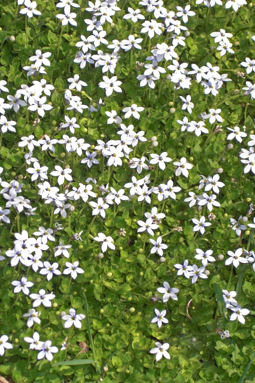 ground cover flowers blue star creeper
