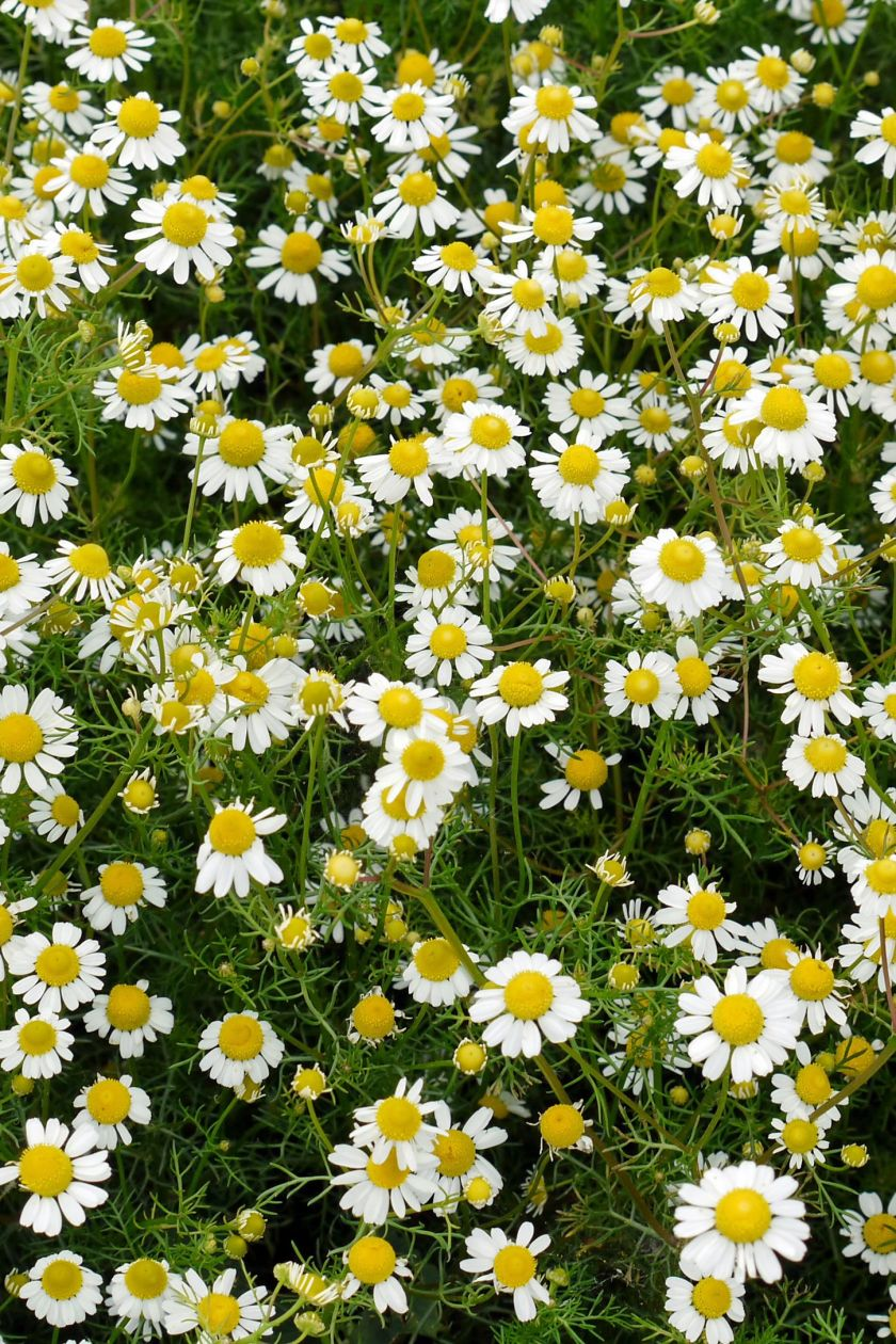 ground cover flowers roman chamomile